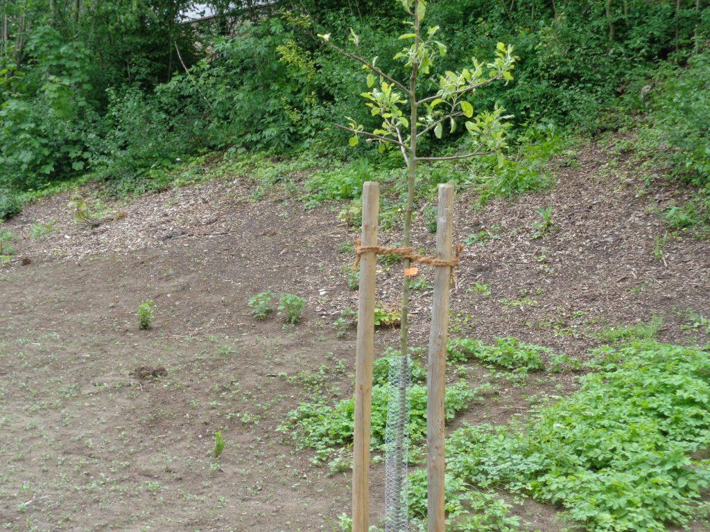 Baum-Patenschaft Prinzenapfel